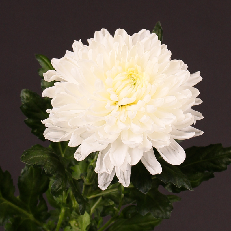 Chrysanthemum Onarida