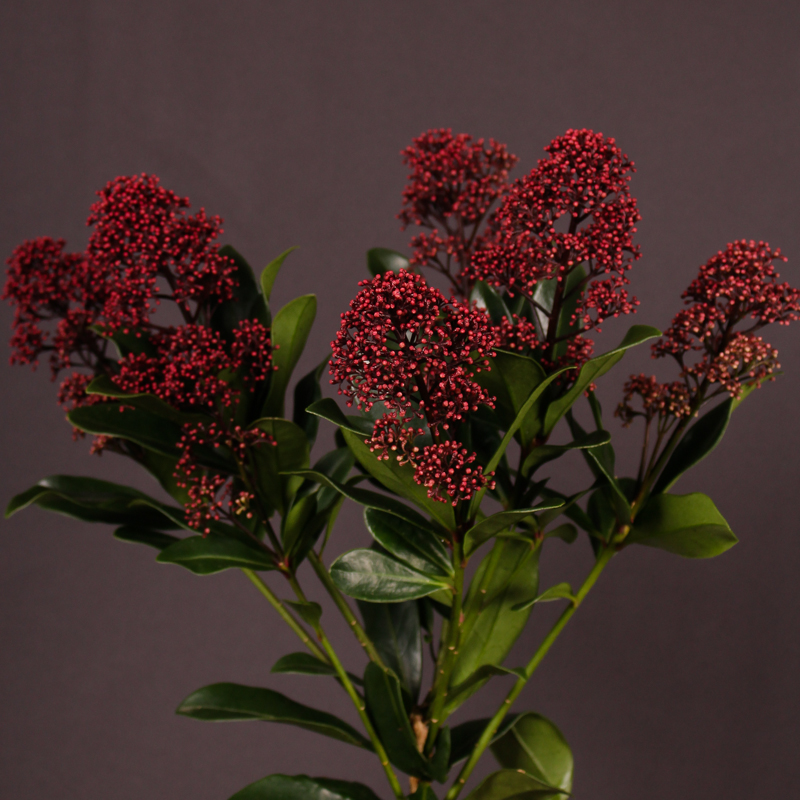 Skimmia Rubest Optima