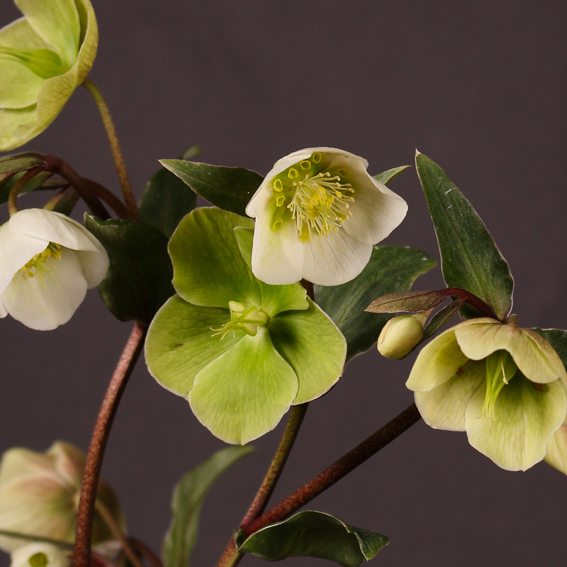 Helleborus Magnificent Bells