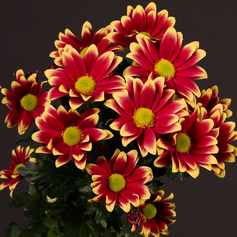 Chrysanthemum Pleasure Yellow