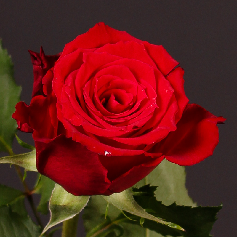 Rosa Red Torch