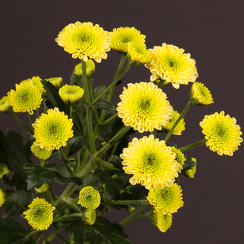 Chrysanthemum Bautista Cream