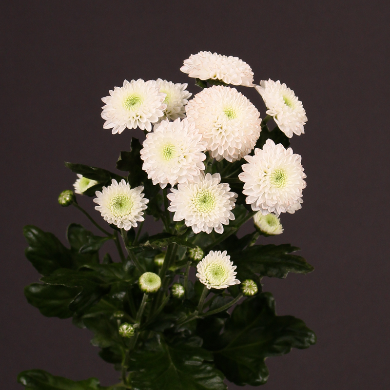 Chrysanthemum Coconut
