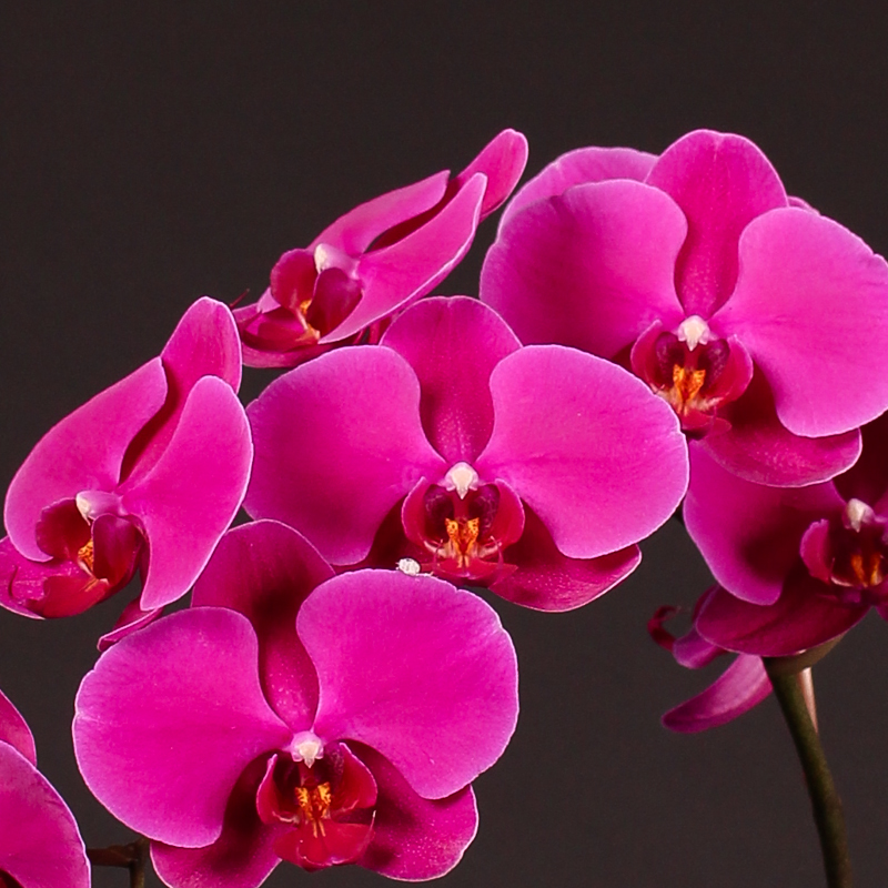 Phalaenopsis Cape Town