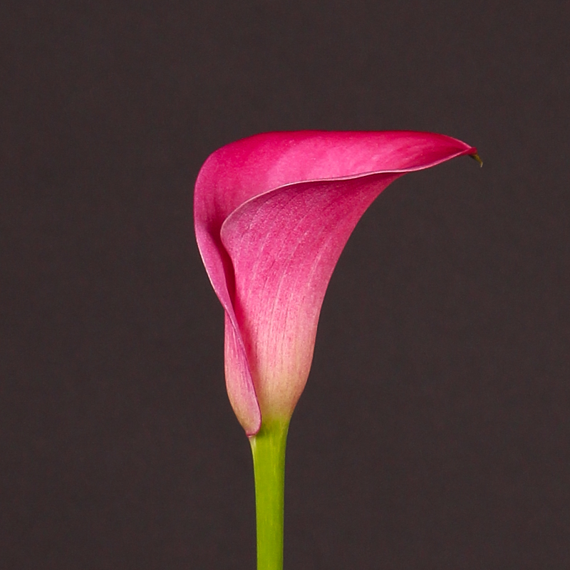 Zantedeschia Captain Fargo®
