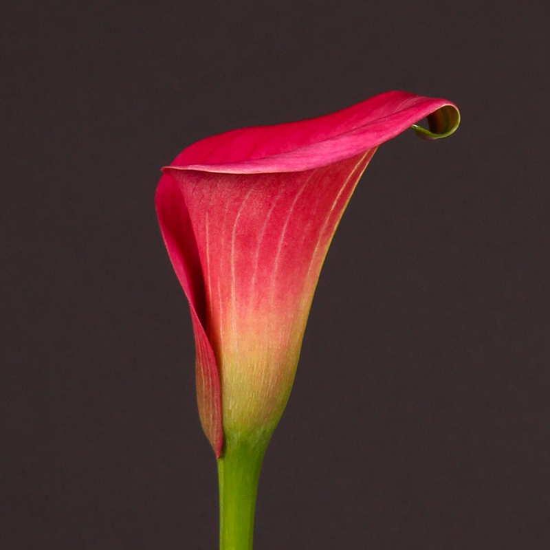 Zantedeschia Captain Samba®