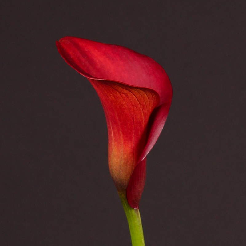 Zantedeschia Captain Tulsa®