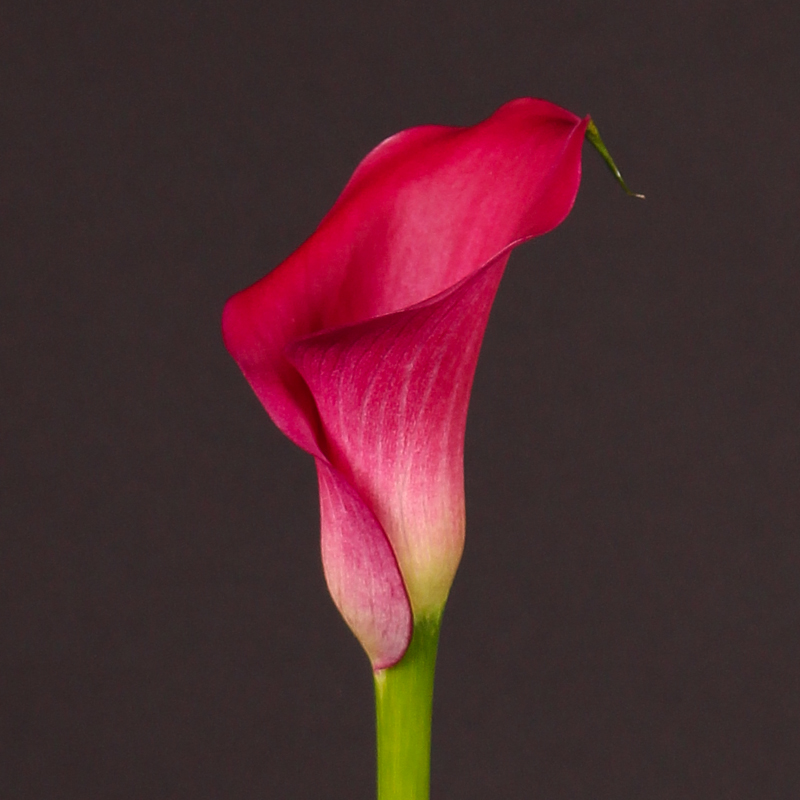Zantedeschia Captain Cheerio®