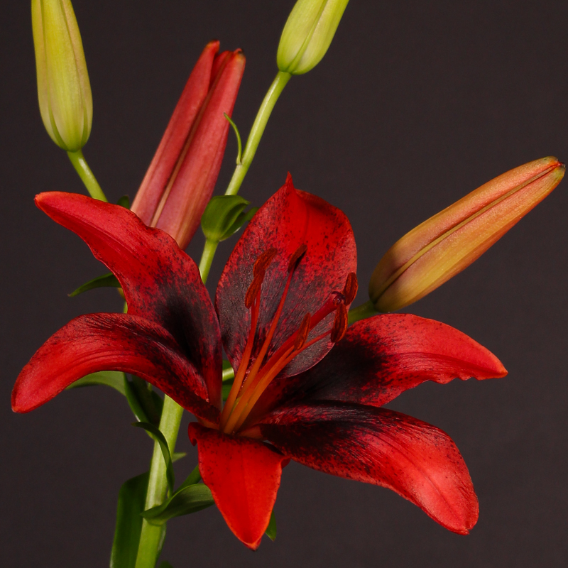Lilium Aziaat Latino Red