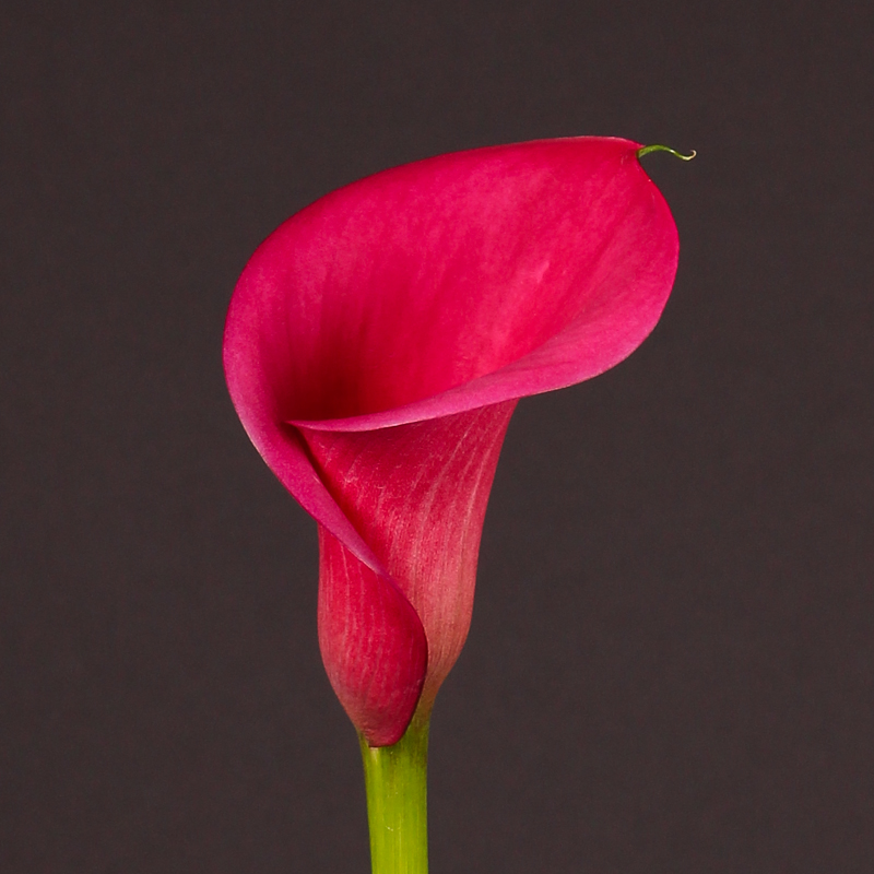 Zantedeschia Captain Linda®