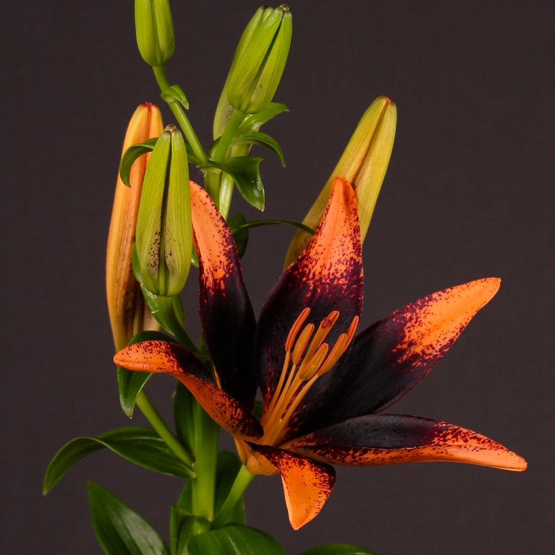 Lilium Aziaat Latino Orange