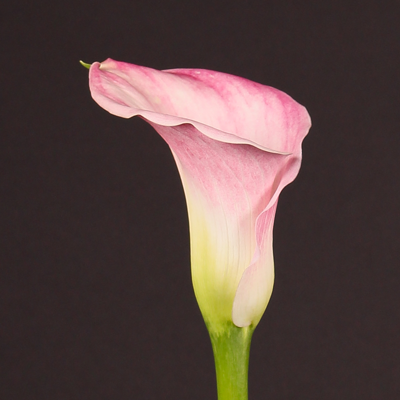 Zantedeschia Captain Alma®