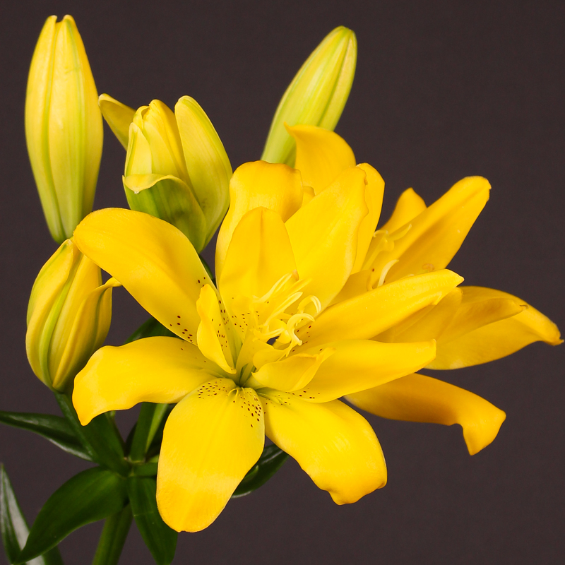 Lilium Aziaat Double Gold