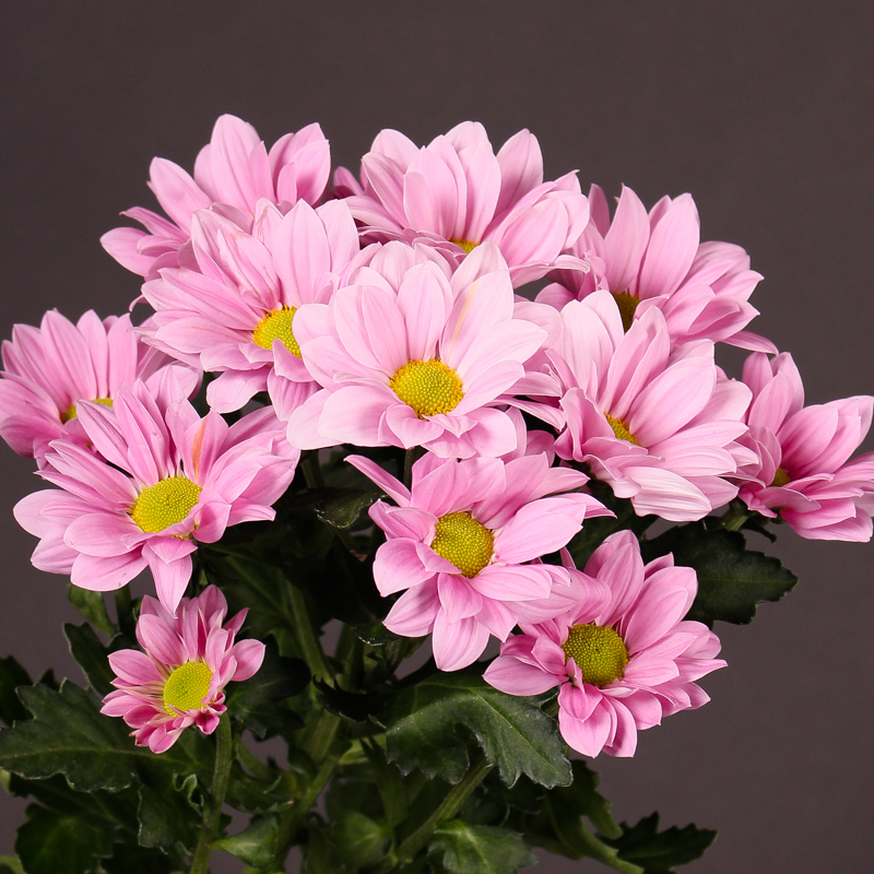 Chrysanthemum Grand Pink