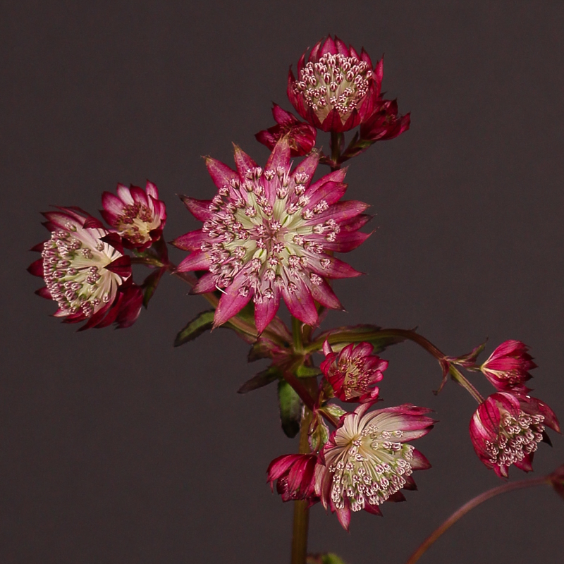 Astrantia Major Lars
