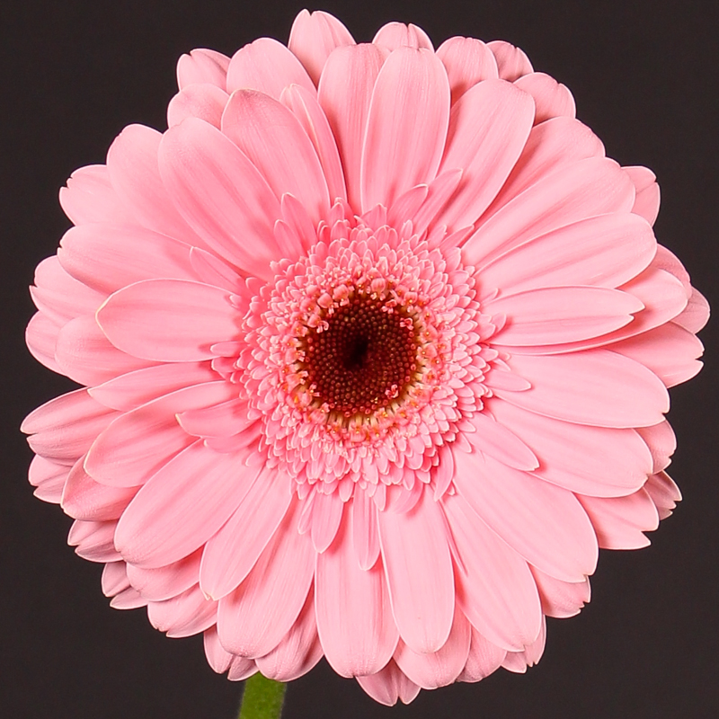 Gerbera Grizzly