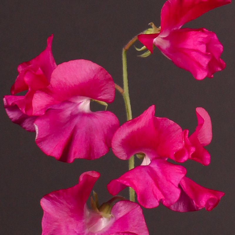 Lathyrus Winter Sunshine Cerise