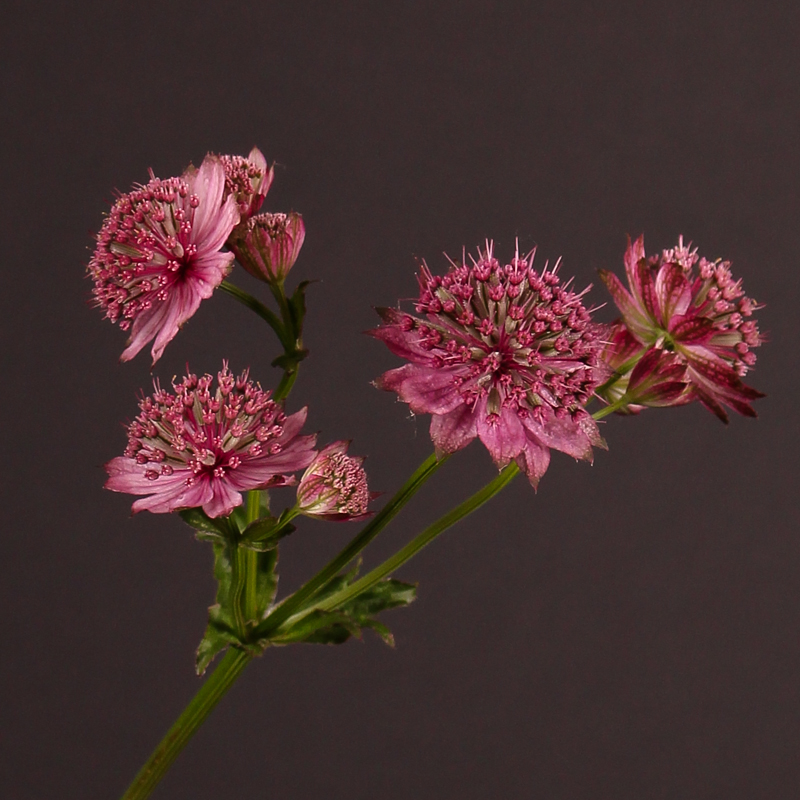 Astrantia Major Rosita