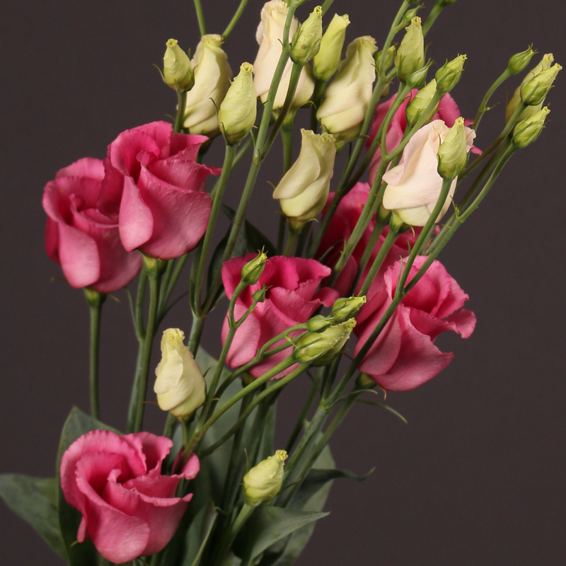 Lisianthus Piccolo Rose