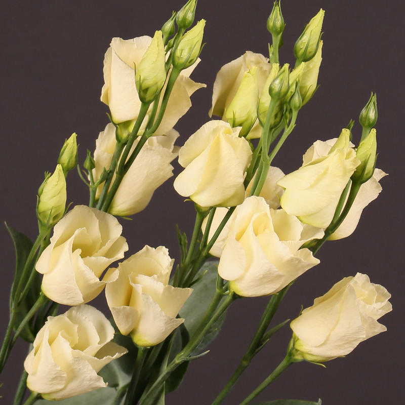 Lisianthus Piccolo Yellow