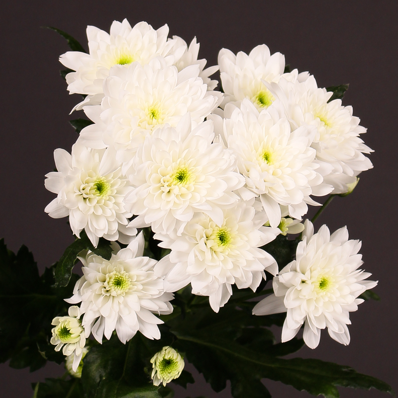 Chrysanthemum Euro