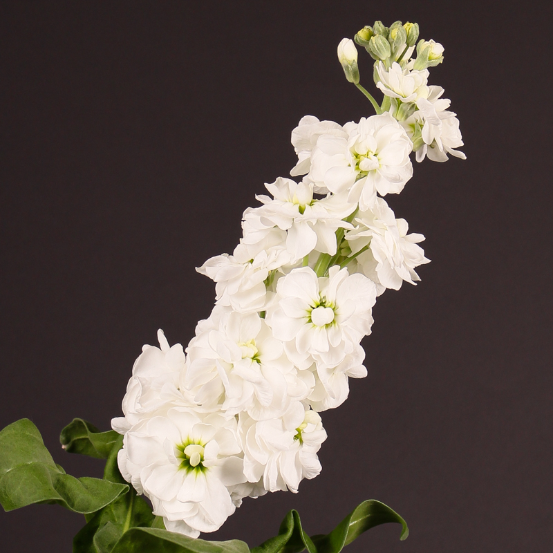 Matthiola Incana Centrum White