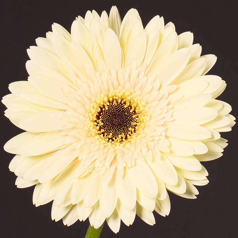 Gerbera Evergreen