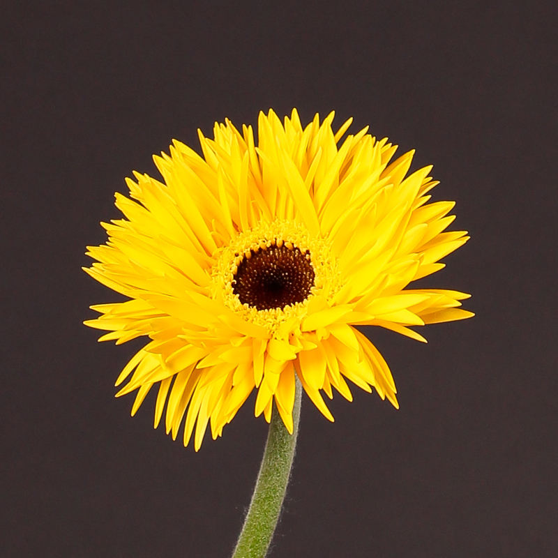 Gerbera Spider Yellow