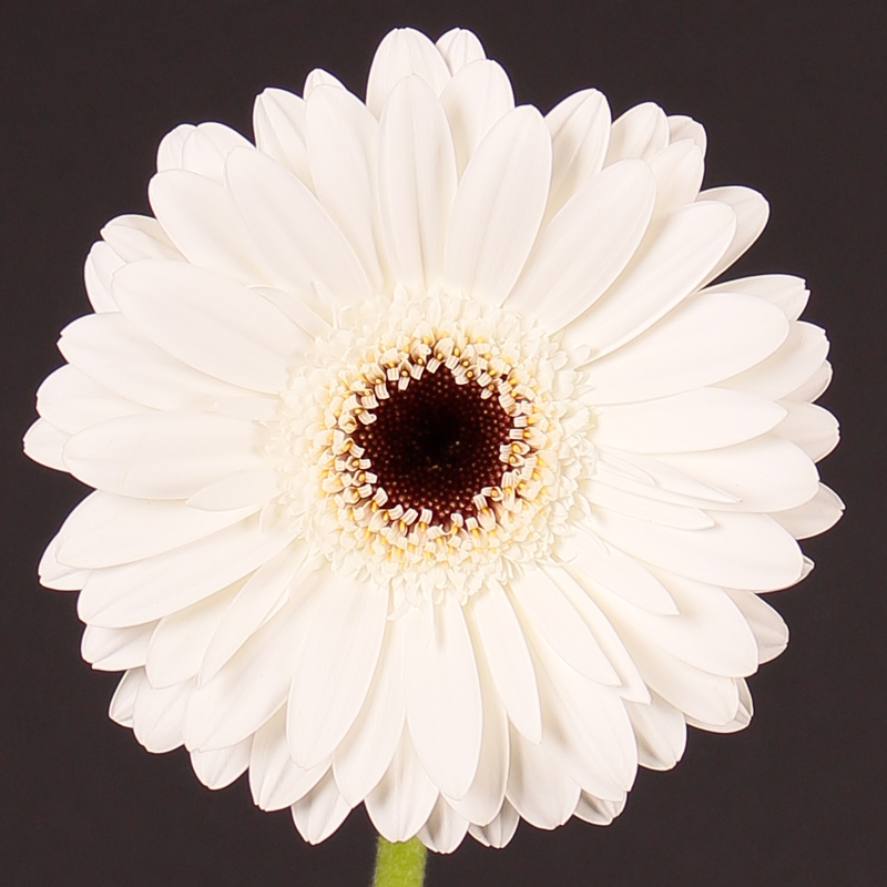 Gerbera Dakota