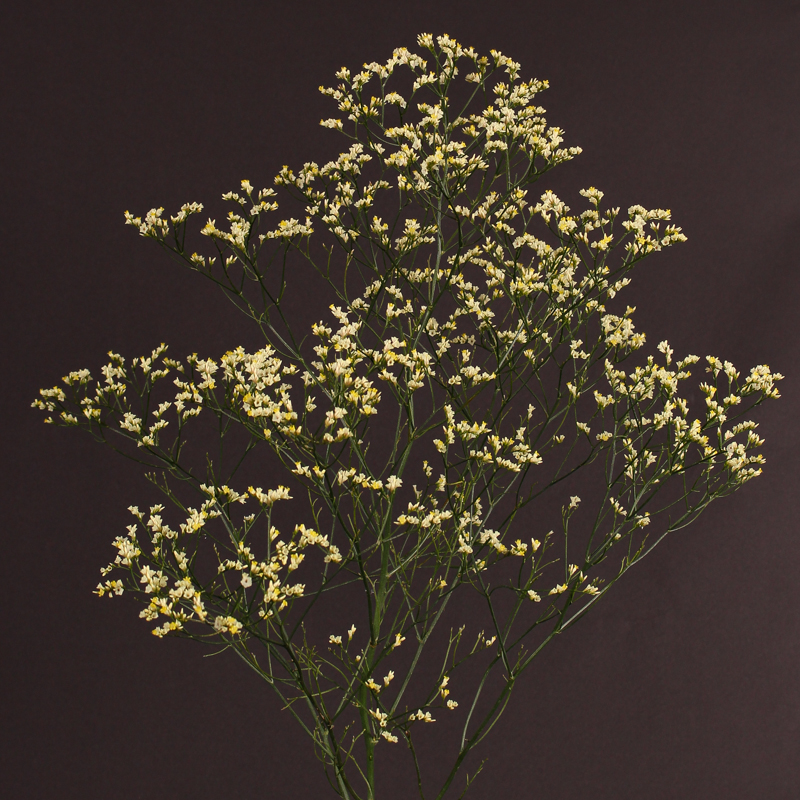 Limonium Golden Diamond