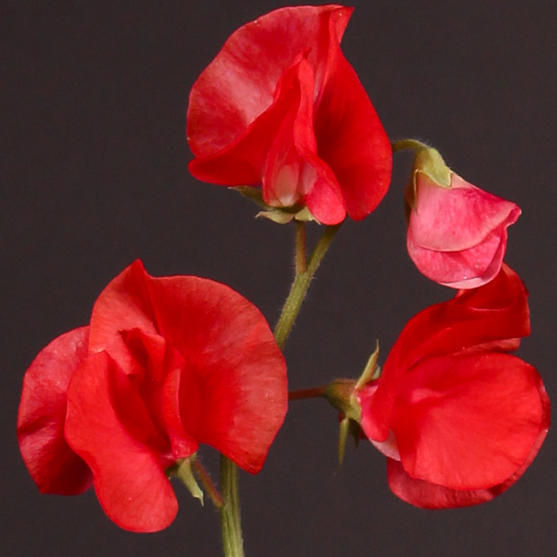 Lathyrus Winter Sunshine Red
