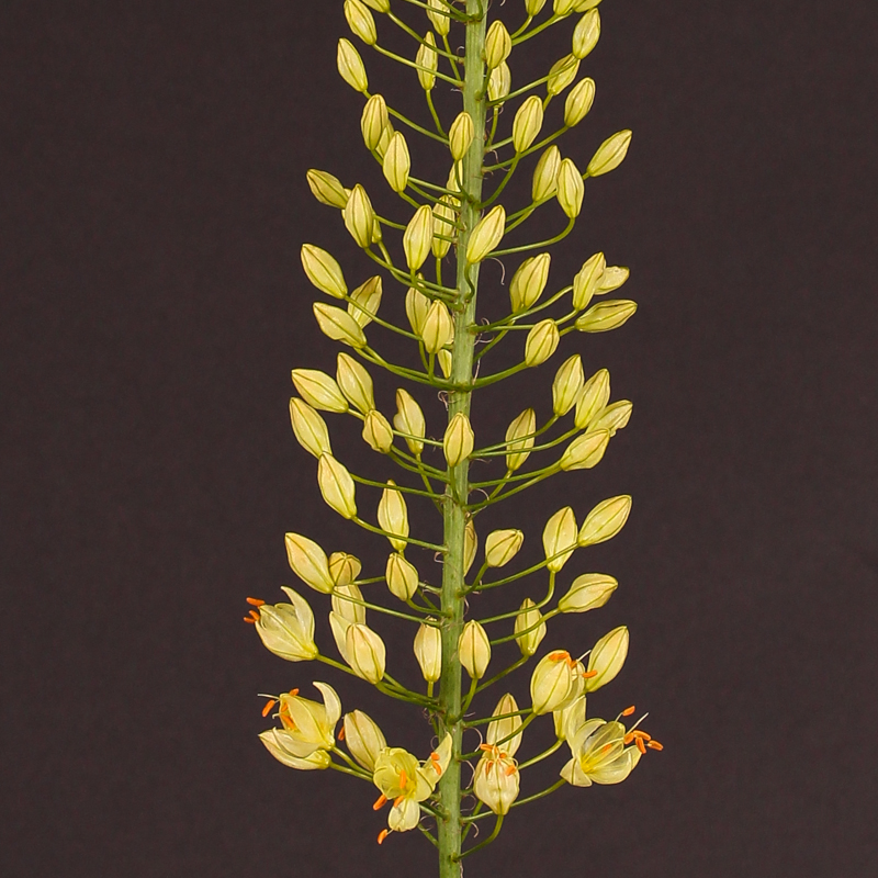 Eremurus Shelford Yellow Sun