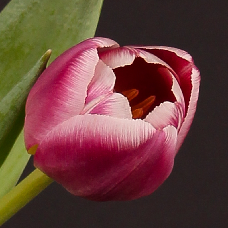 Tulip Cracker
