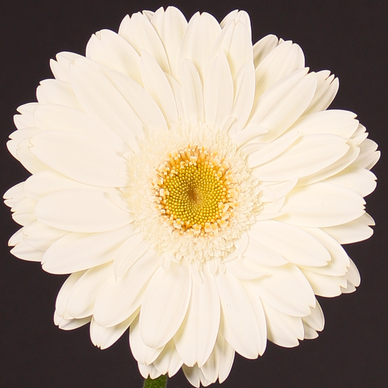 Gerbera White Grizzly
