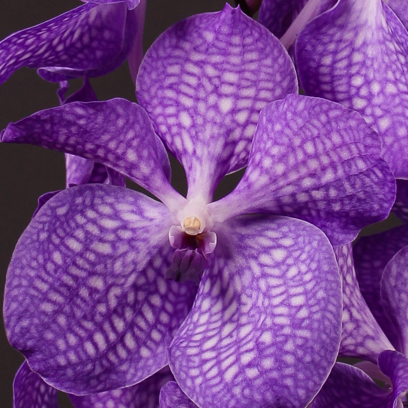 Vanda Magic Blue
