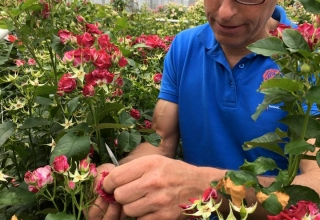 Breeder Interplant Roses
