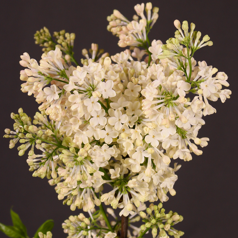 Syringa Maiden Blush