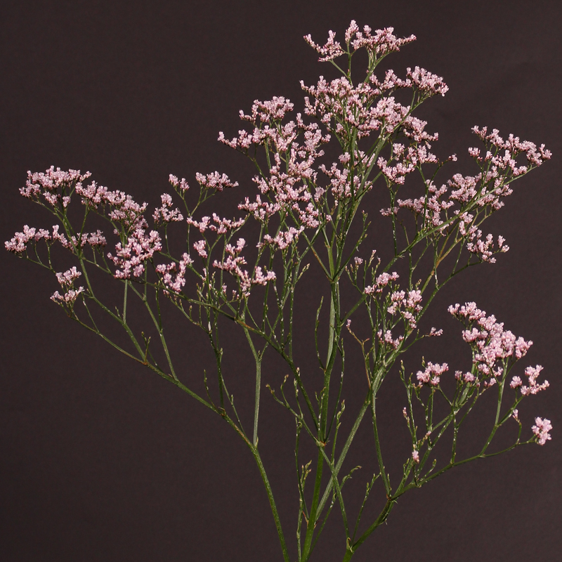 Limonium Tall Pink Emille