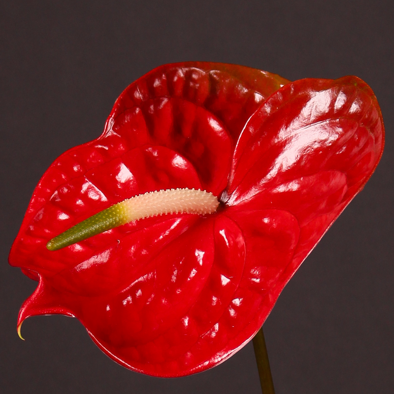 Anthurium Calisto
