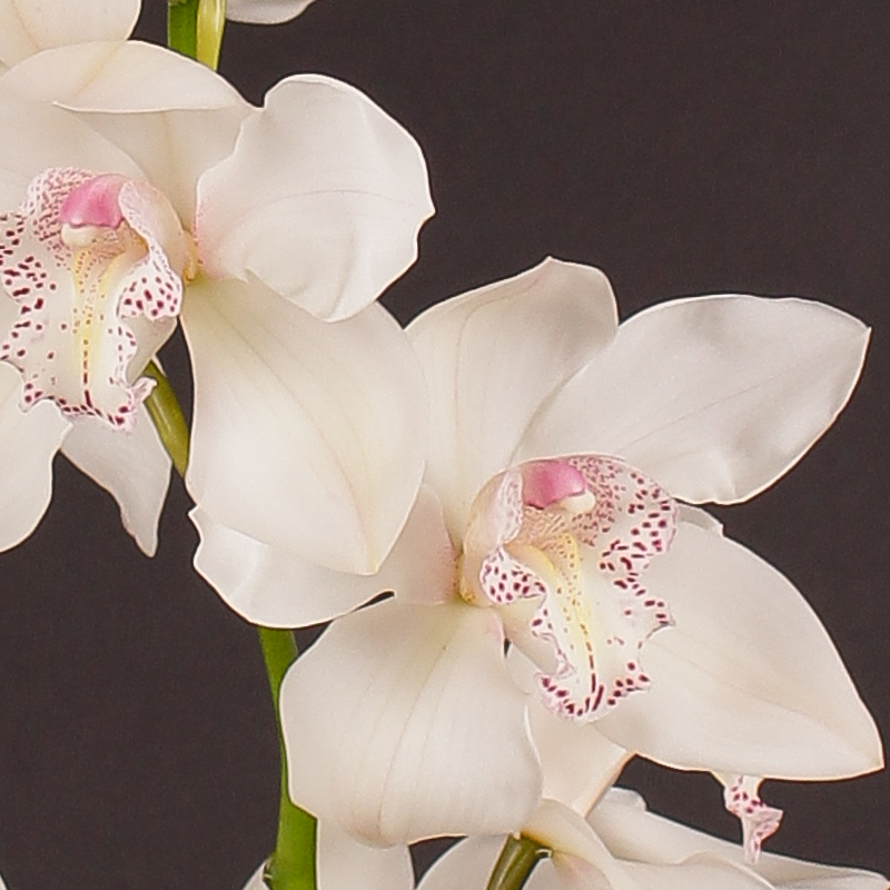 Cymbidium Sugar Lee
