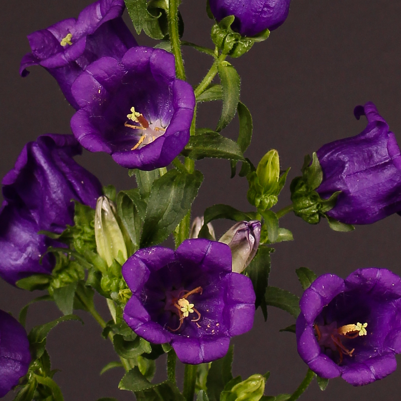 Campanula Medium Champion Blue