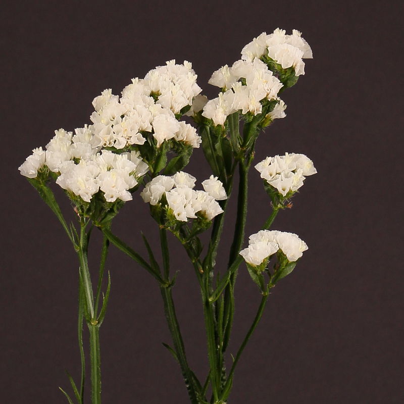 Limonium White Starlight