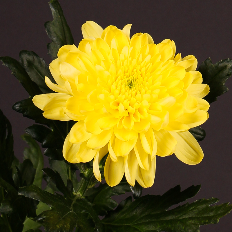 Chrysanthemum Zembla Yellow