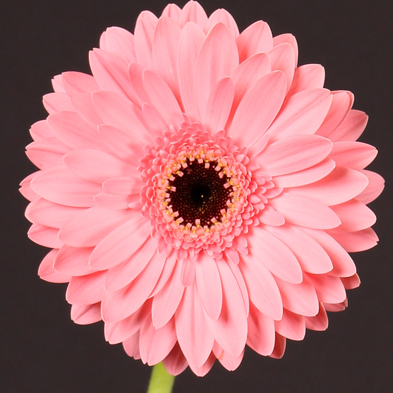 Gerbera Dream