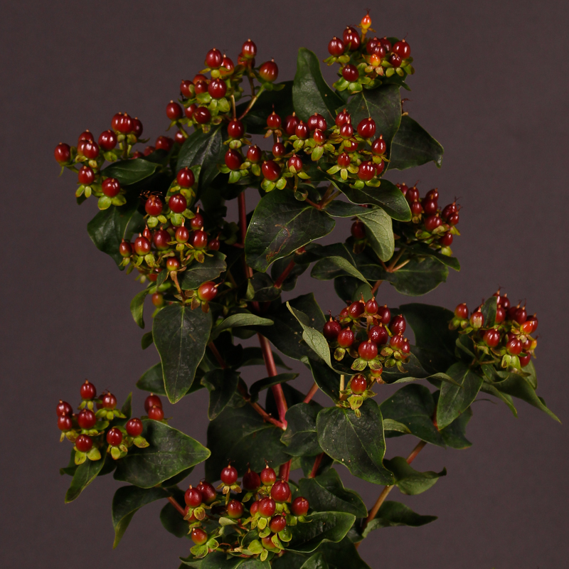 Hypericum Magical Fall