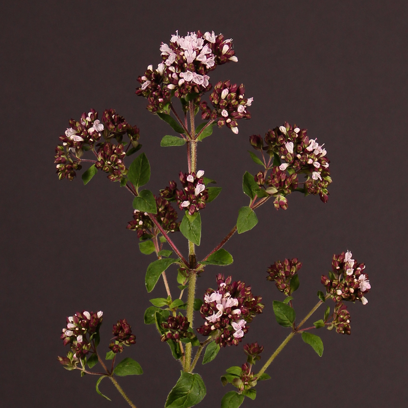 Origanum Max Royal