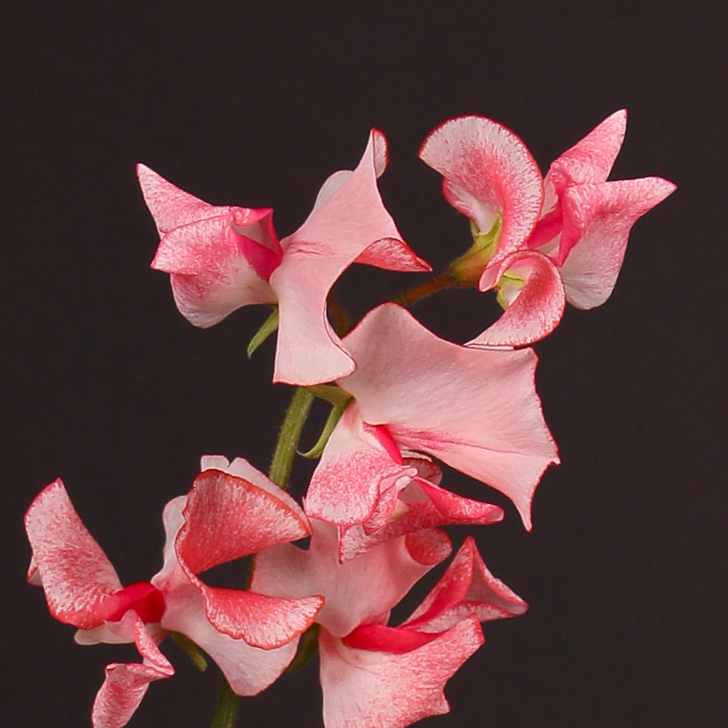 Lathyrus Misty Red