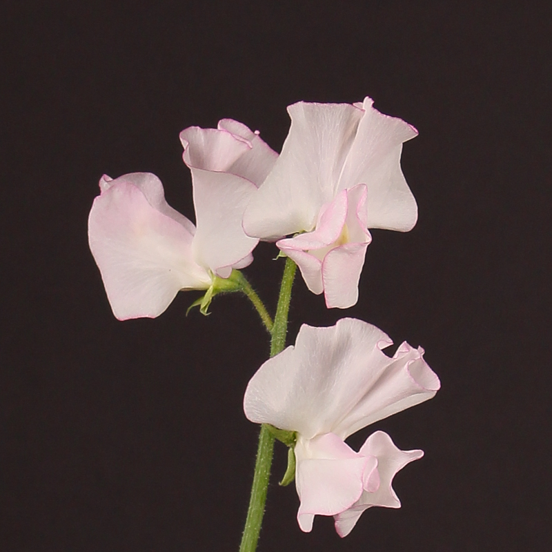 Lathyrus Misty White