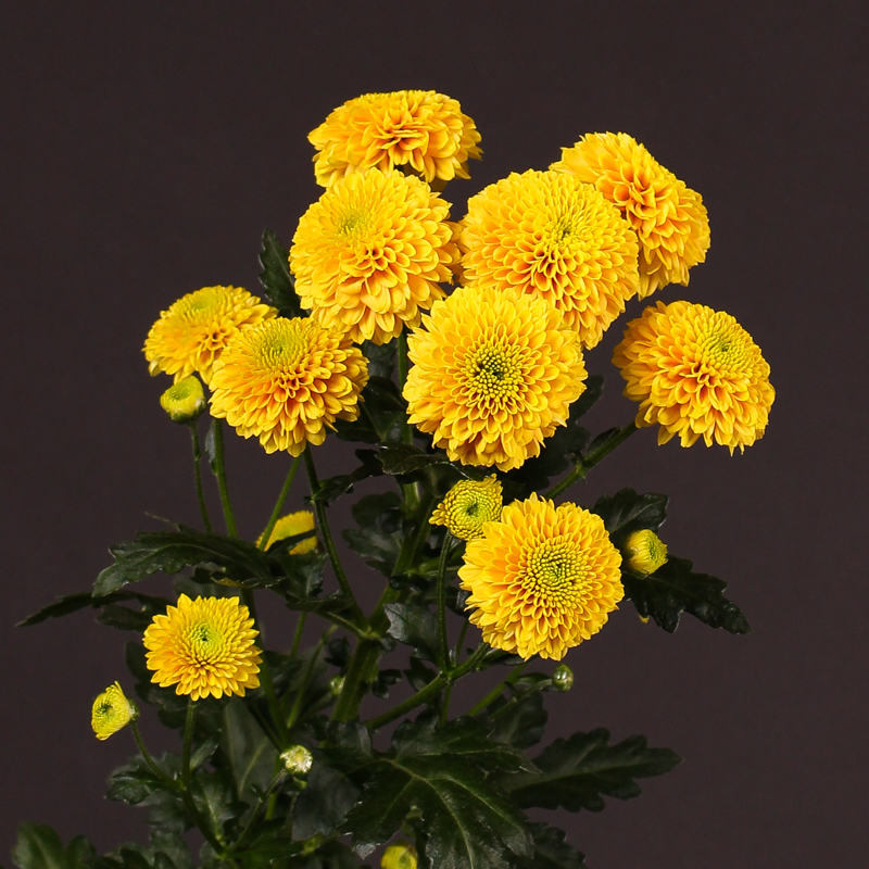 Chrysanthemum AAA Jeanny Orange