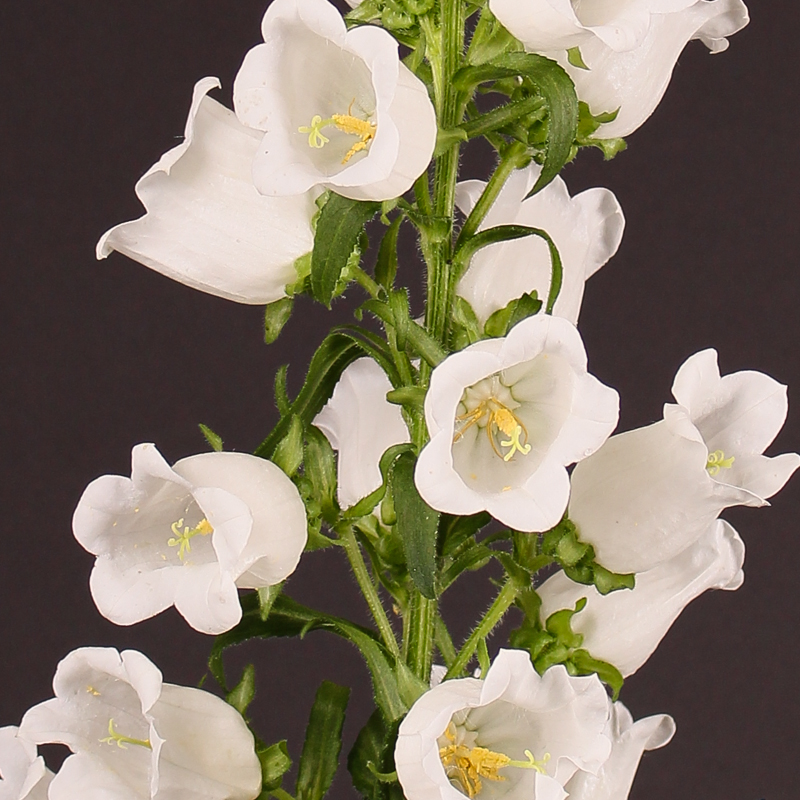Campanula Medium Champion White